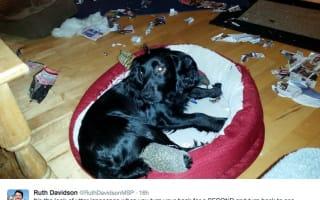 Politician's dog goes on destructive rampage