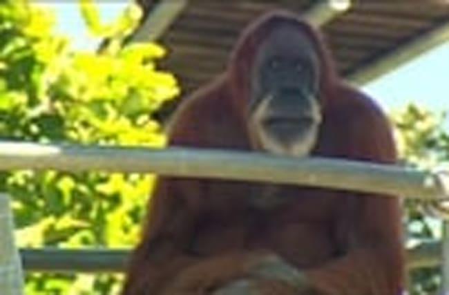 World's oldest orangutan turns 60