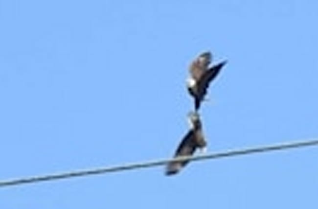 Bald Eagles Locked in Epic Battle