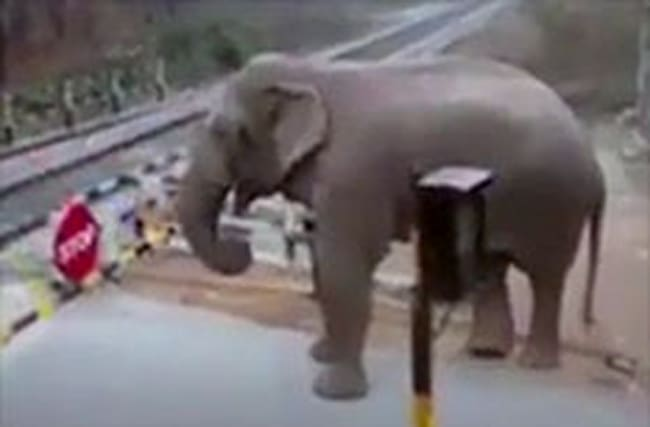 Impatient elephant navigates train level crossing