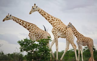 Giraffes killed 'for fun' by Brits on hunting holidays
