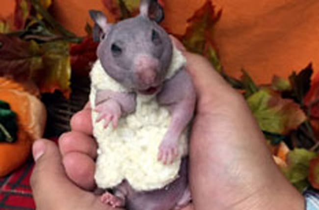 Hairless hamster gets a tiny jumper to keep her warm