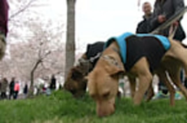 D.C. tourists happy cherry blossoms survived cold snap