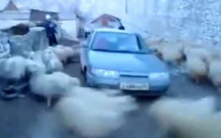 Whirlwind sheep fancy Russian car with funny results