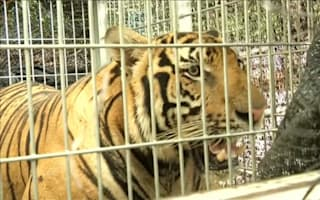 Tigers seized from temple in Thailand