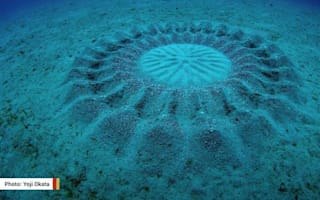 Fish creates underwater 'crop circle' to attract mate