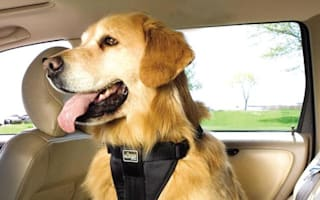 Dogs could forced to buckle up while riding in cars