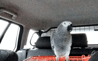 Learner driver accompanied only by pet parrot