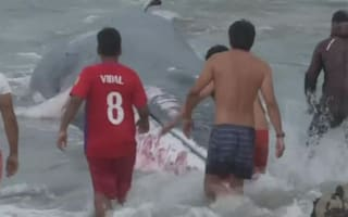 Beached whale saved by locals in Chile