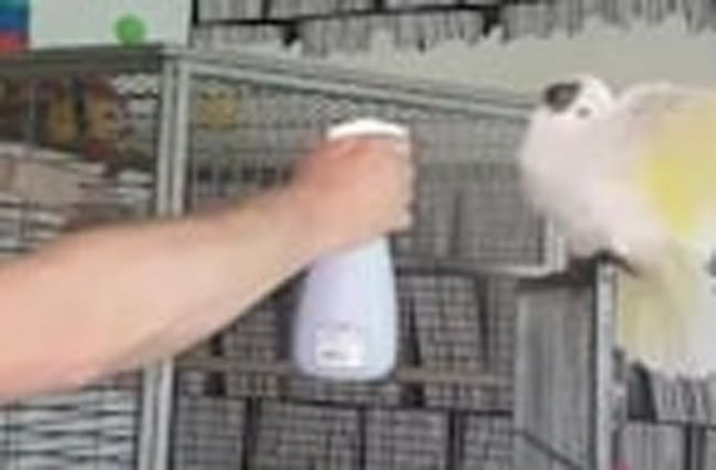 Cockatoo loves to get sprayed by water bottle