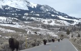 Bison 'fleeing super volcano' were actually just frisky (video)