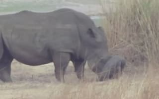 Vets rescue wild rhino with tyre stuck on snout