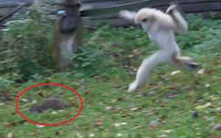 Watch these gibbons chase away a rat