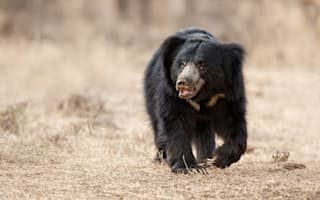 Man survives three-hour Revenant-style bear attack in India