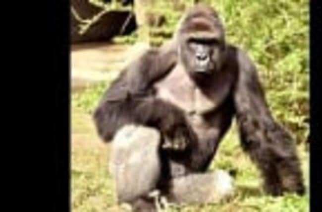 Gorilla shot after child falls into zoo enclosure