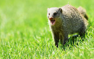Mongooses stop play with green invasion at Sun City