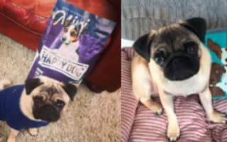 Super bargain-hunter and her pug snap up £500 of freebies