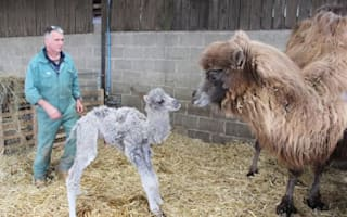 Farmer left confused as 'male' camel gives birth