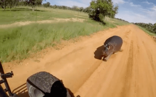 Hippo charges car in South Africa