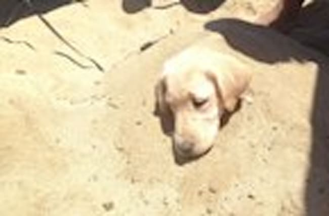 Puppy loves to be buried in sand