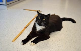 Huge moggy named The BFC (Big Friendly Cat) needs a home