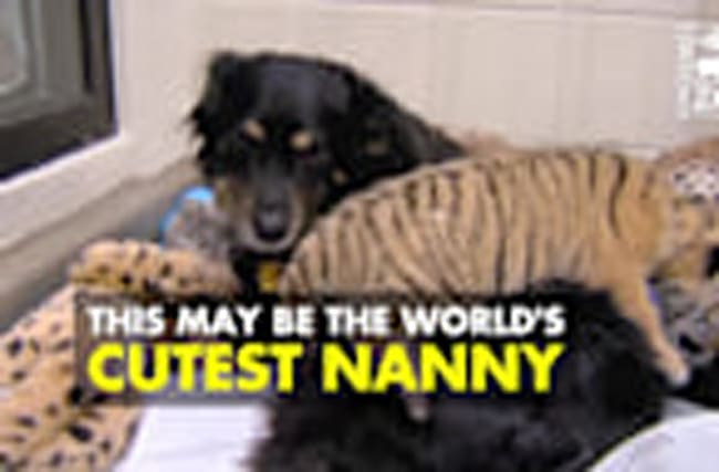 Dog Makes Adorable Nanny