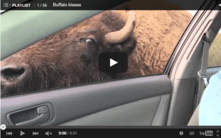 Give us a kiss: Buffalo sticks his head through car window