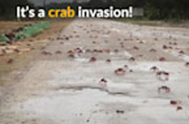 Crabs invade Cuba's Bay of Pigs