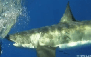 Huge five-metre great white shark stalks fishermen's boat in Australia (video)