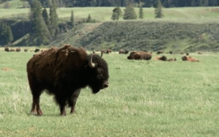 Woman attacked by bison while taking selfie