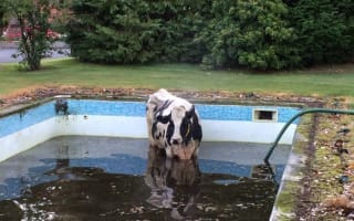 Firefighters rescue cow stuck in swimming pool in Cheshire