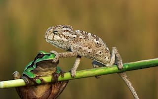 Shut your trap! Cheeky chameleon silences frog