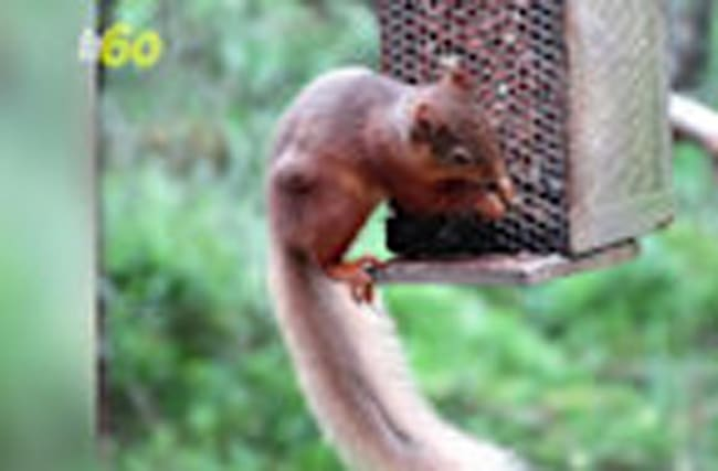 An Army of Volunteers is Requested to Save the U.K.'s Red Squirrels