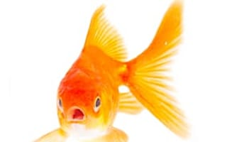 Goldfish death among tax excuses