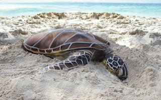 Can you see what's unusual about this turtle on the beach?