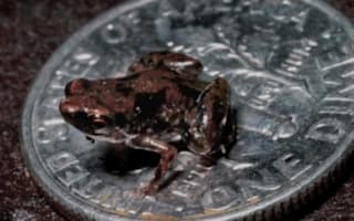 Video: Tiny frog is world's smallest vertebrate at 7mm long