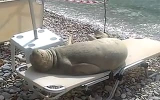 Seal relaxes on sun lounger at the beach (funny video)