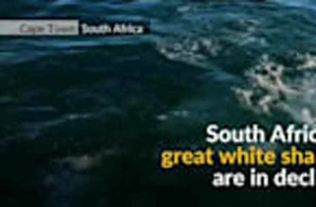 S. Africa's great white shark population on the brink