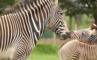 Rare zebra gives birth at Chester Zoo