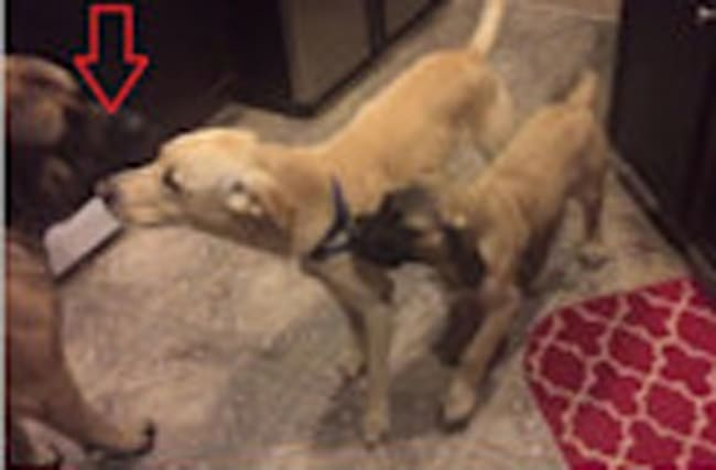 English Mastiff helps break up dog fight