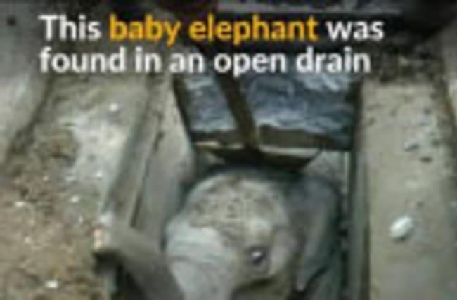 Baby elephant rescued from drain in Sri Lanka