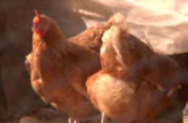 Free-Range Eggs May Be Healthier Than Alternatives