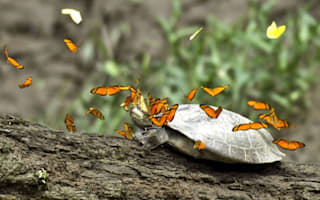 Pictures: Butterflies bizarrely gather to drink turtles' tears