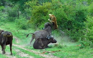 Lion thrown through the air by angry buffalo