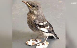 Tiny injured mockingbird gets snow shoes to correct feet