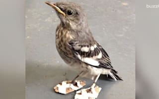 Tiny injured mockingbird gets snow shoes to correct feet