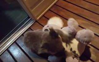 Baby koala crash-tackles toy koala