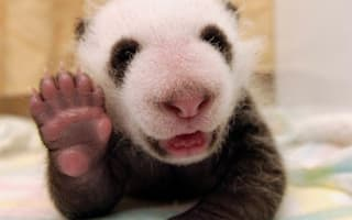 High five! Adorable panda cub born in China says hello to the world