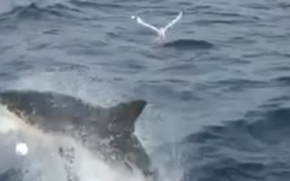 Great white shark leaps through air in front of tourists