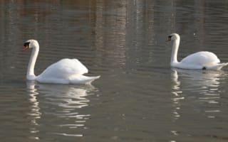Man 'beheads' swan at beauty spot in Kent